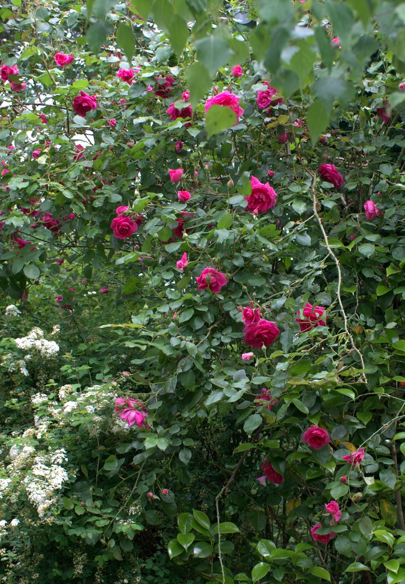 Pink cloud, ardant, arborescent, prolifique buisson de perles fuchsia
